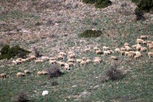 Πωλούνται 60 πρόβατα