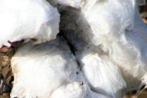 Ένα μοναδικό λεύκωμα για το ελληνικό βαμβάκι