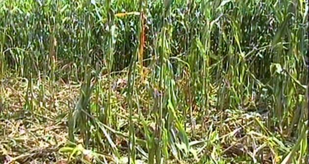 Μέτρα για αντιμετώπιση ζημιών σε καλλιέργειες από αγριογούρουνα