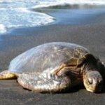 Ενθαρρυντικά μηνύματα για τις θαλάσσιες χελώνες