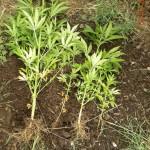Λάρισα: Καλλιεργούσε… κάνναβη μέσα σε θάμνους