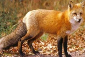 Παρατείνεται έως 20/12 ο εμβολιασμός των αλεπούδων κατά της λύσσας