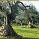 Ψεκασμοί για την καταπολέμηση του δάκου στην Π.Ε. Λάρισας