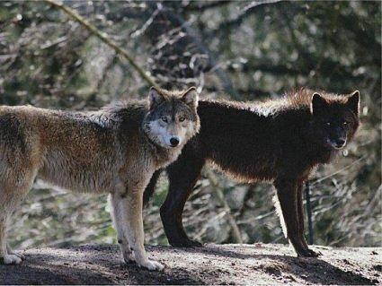 Λύκοι κατασπάραξαν κοπάδι στον Αλμυρό
