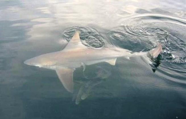 Ψαράς αλίευσε σπάνιο είδος καρχαρία