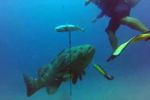 Γιγάντιος ροφός αφοπλίζει ψαροντουφεκά και του κλέβει τη λεία! (video)