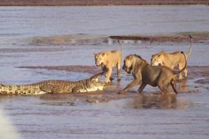 Επική μάχη κροκόδειλου-λιονταριών (video)