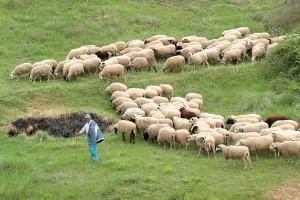 Στην Ευρωβουλή η μειωμένη εξισωτική που έλαβαν οι κτηνοτρόφοι