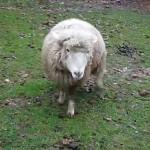 Έσερνε το πρόβατο με το ΙΧ!