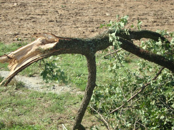 κομμένο δένδρο