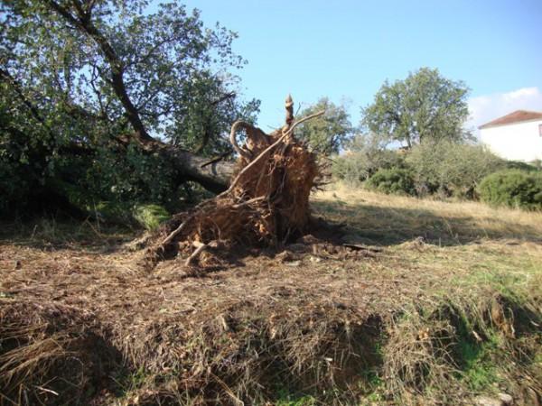 ξεριζωμένο δένδρο