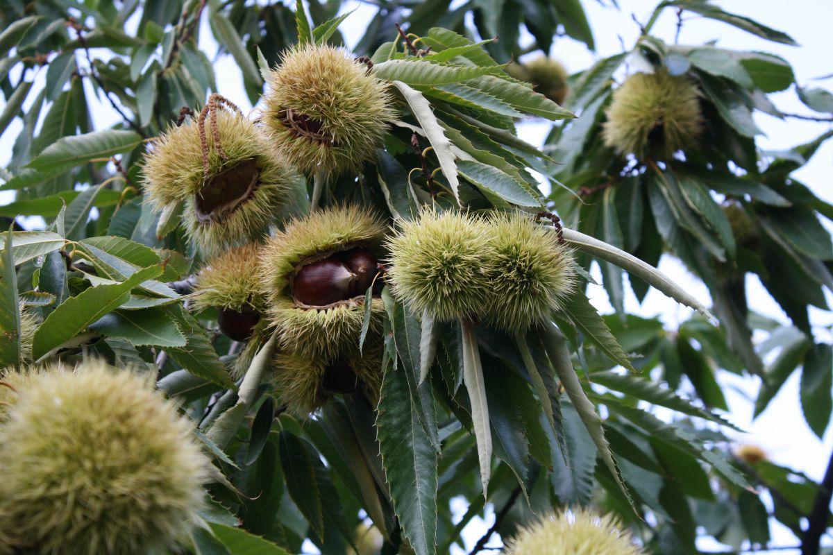 Προβλήματα στις καλλιέργειες του κάστανου στο Νομό Λάρισας
