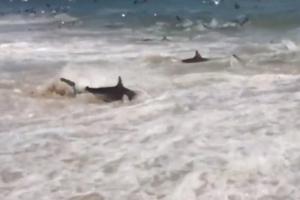 Οι καρχαρίες βγήκαν στην παραλία! (video)