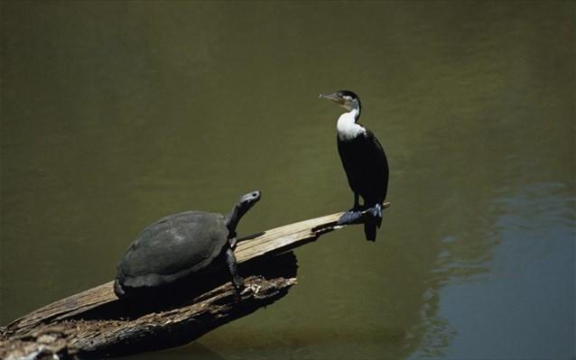 Οι χελώνες και τα πτηνά είναι «συγγενείς»