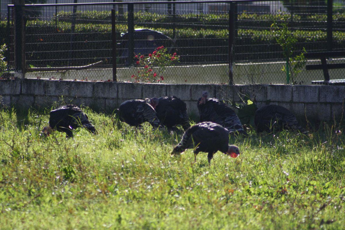 Φάρσαλα: Έκλεψαν 39 γαλοπούλες
