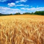 Συστάσεις για την αντιμετώπιση ασθενειών σε σιτοκαλλιέργειες