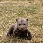 Εμπόριο με τις μικρές αρκούδες