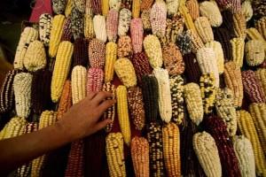 «Νομοθέτηση της απαγόρευσης καλλιέργειας μεταλλαγμένων»