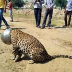 Διψασμένη λεοπάρδαλη παγιδεύτηκε σε μεταλλικό δοχείο