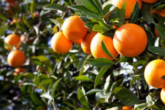 Οι «ρίζες» πορτοκαλιών και λεμονιών: Από τους πρόποδες των Ιμαλαΐων η καταγωγή τους