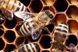 Ο άνθρωπος απειλεί τις μέλισσες με αφανισμό