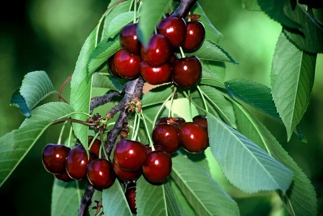Ζημιές έως 100% σε κεράσια, μήλα και αμύγδαλα