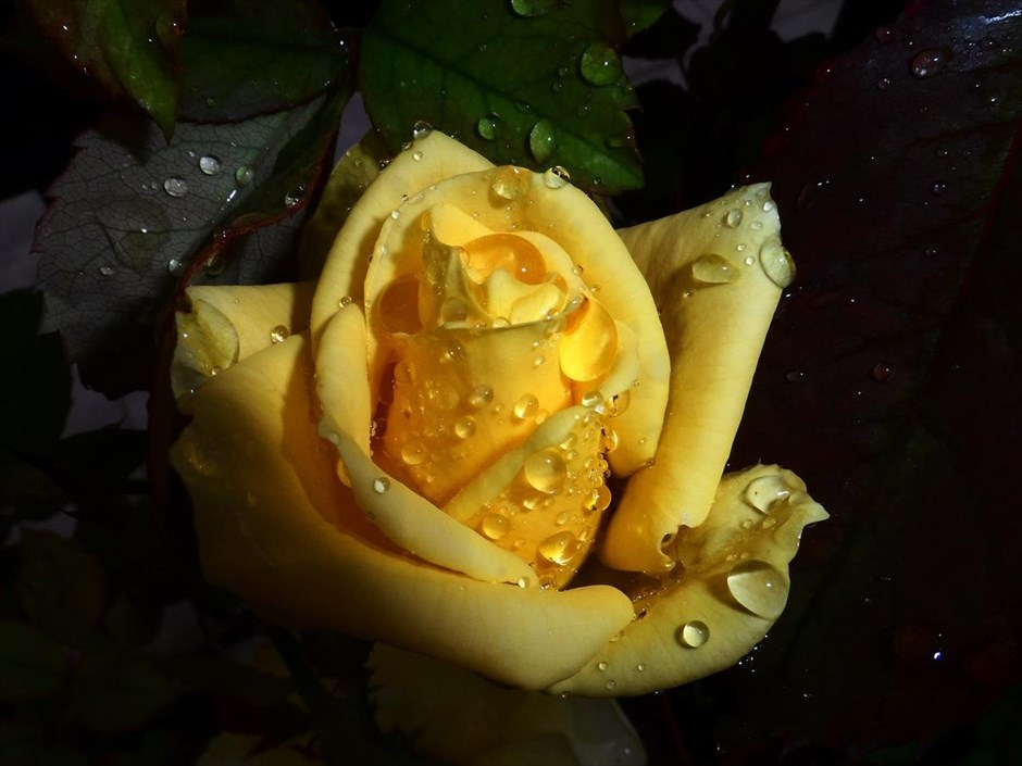 Κίτρινο τριαντάφυλλο στα Τρίκαλα