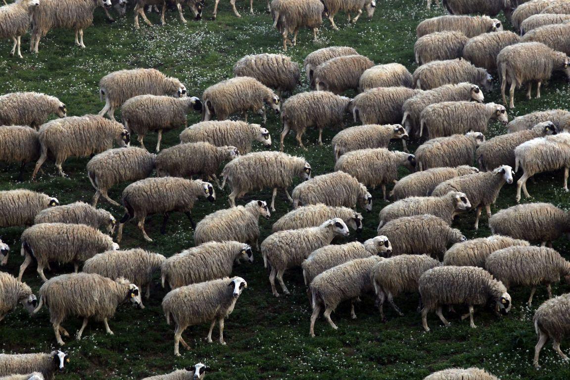 Έκλεψε πρόβατα και τα έβαψε μαύρα