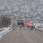 Σμήνη πουλιών στη χιονισμένη Κάρλα (ΦΩΤ.  & VIDEO)