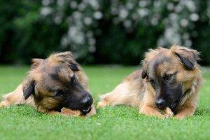 Οι σκύλοι μοιράζονται τροφή υπό δύσκολες συνθήκες