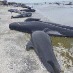 Νεκρές εκατοντάδες φάλαινες σε ακτή της Νέας Ζηλανδίας…