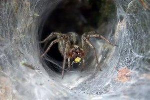 Δηλητήριο αράχνης περιορίζει τη βλάβη μετά από εγκεφαλικό