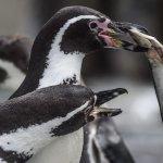 Νεογέννητοι πιγκουίνοι στον ζωολογικό κήπο του Λονδίνου