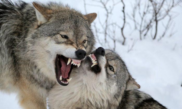 Πως δημιουργήθηκε ο Λύκος σύμφωνα με την μυθολογία