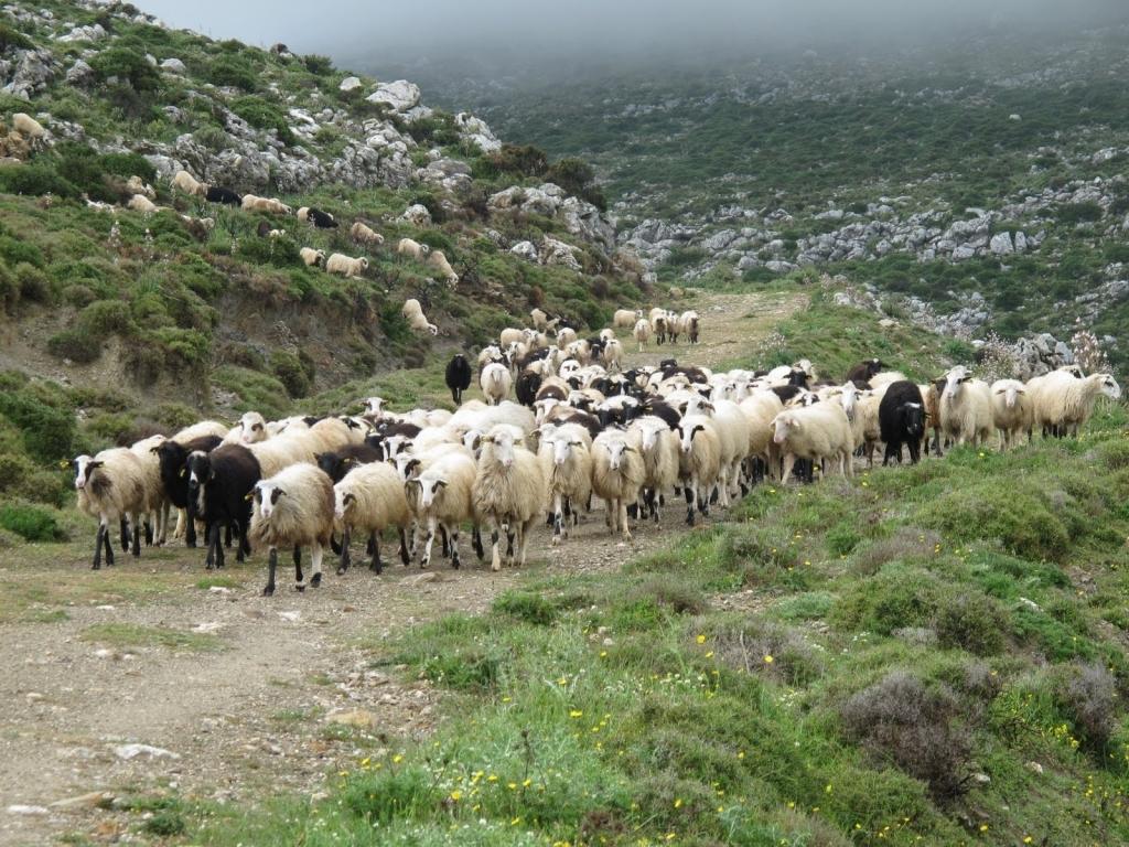 Διαδικασίες και προθεσμίες για την απογραφή αιγοπροβάτων και χοίρων έτους 2017