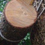 Έσπασε δέντρο λόγω την ισχυρών ανέμων