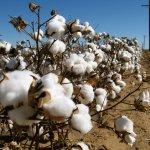 Δελτίο γεωργικών προειδοποιήσεων ολοκληρωμένης φυτοπροστασίας στη βαμβακοκαλλιέργεια της ΠΕ Λάρισας