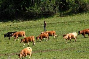 Μείωση 4,9% το 2016 του αριθμού των βοοειδών που εκτρέφονται στην Ελλάδα