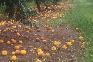 Ζημιές από τη «Μέδουσα» σε καλλιέργειες δένδρων