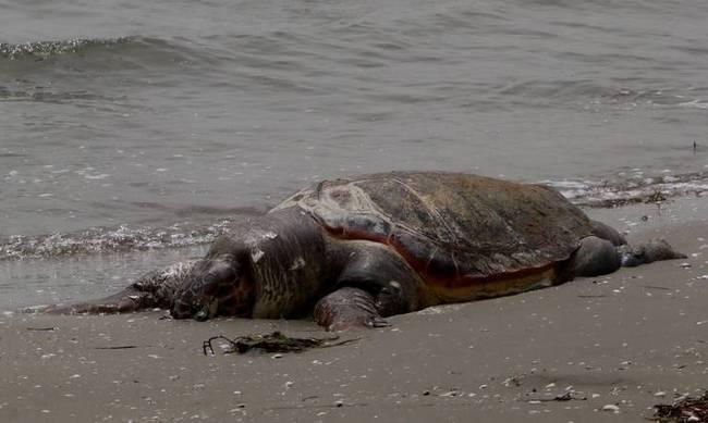 Νεκρή θαλάσσια χελώνα στη Σαλαμίνα