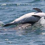 Δελφίνι αρνείται να εγκαταλείψει το νεκρό μωρό του στον Αμβρακικό Κόλπο