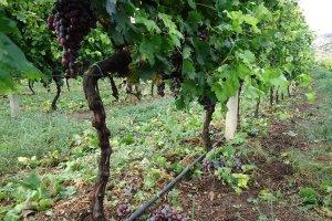Μεγάλες ζημιές σε αμπέλια και ελιές στο Τύρναβο (φωτ.)