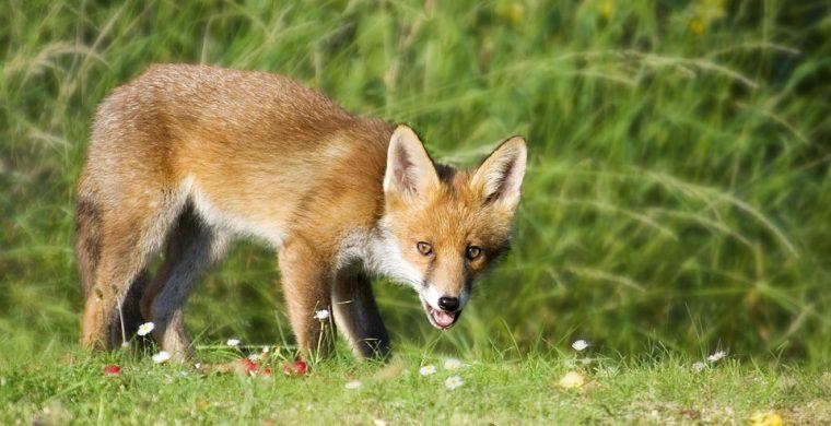 Ρίψη εμβολίων για τη λύσσα των κόκκινων αλεπούδων