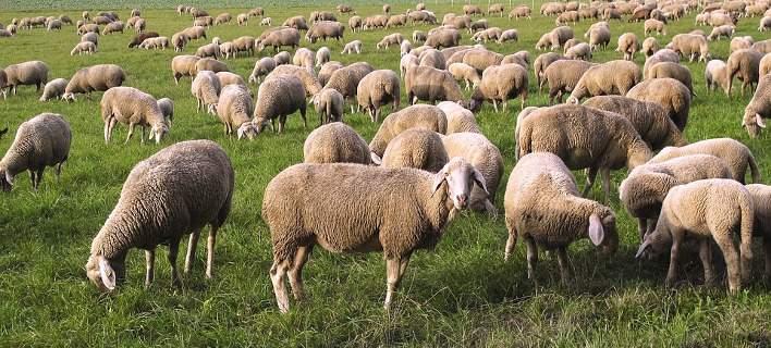 Έσφαξε 100 πρόβατα συναδέλφου του για να τον εκδικηθεί!