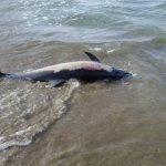 Νεκρό δελφίνι σε παραλία