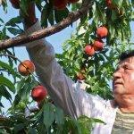 Αποστόλου: Οι ροδακινοπαραγωγοί θα αποζημιωθούν έγκαιρα και όπως πρέπει