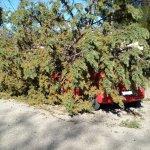 Λάρισα: Έπεσε δέντρο και στο ΤΕΙ Θεσσαλίας (φωτ.)