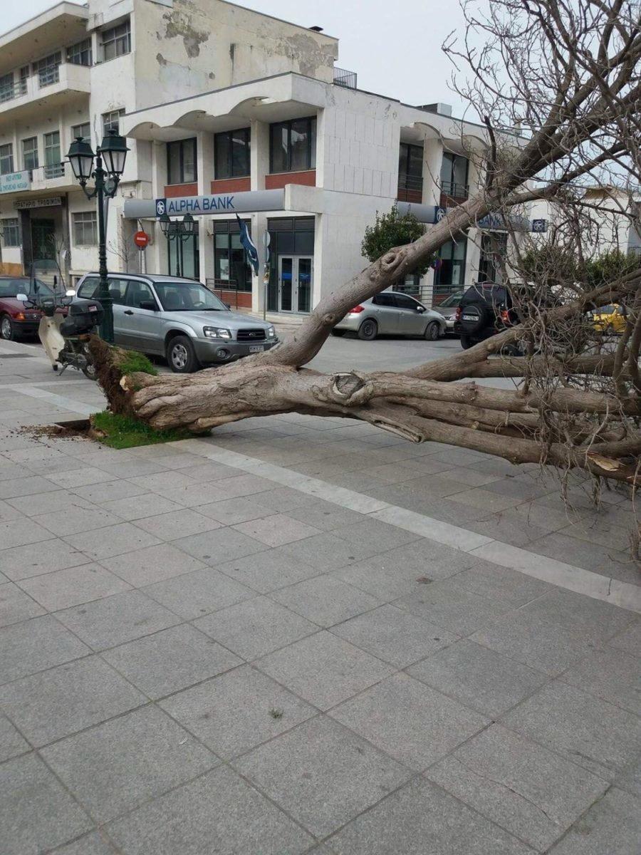 Ξερίζωσαν δέντρα οι ισχυροί άνεμοι στα Φάρσαλα (ΦΩΤΟ)
