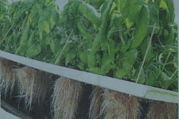 «Παραγωγή  λαχανικών με χρήση καινοτόμου θερμοκηπιακής τεχνολογίας της αεροπονίας»