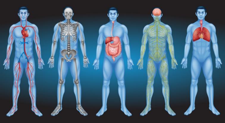 Ανακαλύφθηκε νέο όργανο στο ανθρώπινο σώμα